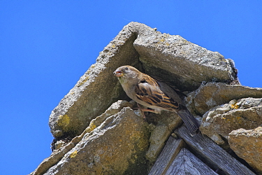 House sparrow (Passer domesticus) female emerging from its nest site under a stone ridge tile on the gable end of a cottage roof, Lacock, Wiltshire, UK, May.