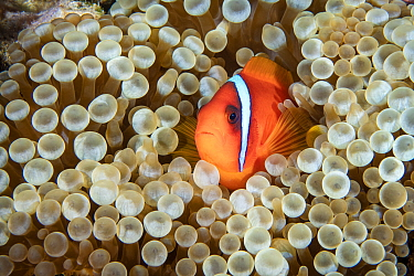 Tomato clownfish (Amphiprion frenatus) Green Island, Taiwan.