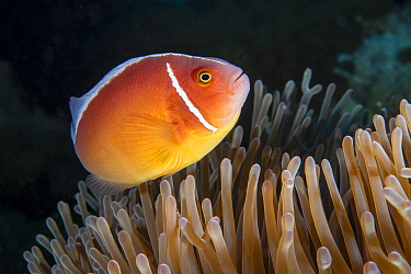 Pink anemone fish (Amphiprion perideraion) at host anemone, Green Island, Taiwan.