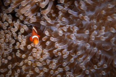 Ocellaris clownfish (Amphiprion ocellaris) Green Island, Taiwan.