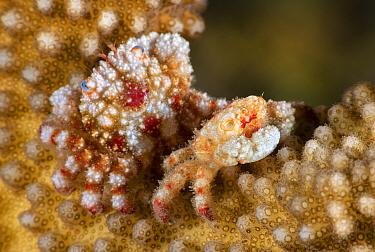 Blue-eyed coral crab (Cymo quadrilobatus) molted out of old shell Kenting Nationalpark, Kenting, Taiwan.
