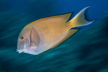 Striated surgeonfish (Ctenochaetus striatus) Green Island, Taiwan.