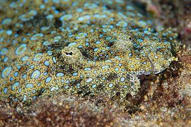 The peacock flounder (Bothus mancus), Green Island, Taiwan.