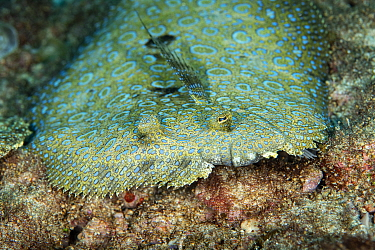 Peacock flounder (Bothus mancus), Green Island, Taiwan.
