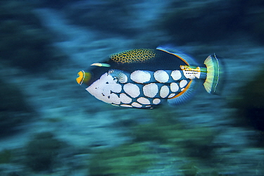 Clown triggerfish (Balistoides conspicillum) Green Island, Taiwan.