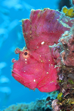 Leaf scorpionfish (Taenianotus triacanthus) Kenting Nationalpark, Kenting, Taiwan.