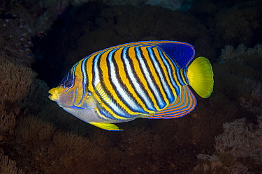 Regal angelfish (Pygoplites diacanthus)  Green Island, Taiwan.