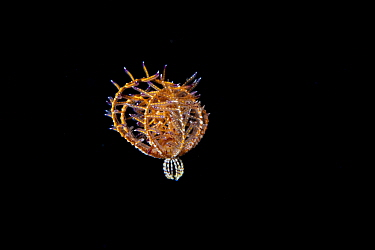 Drifting juvenile Feather star or Crinoid, (Comatulida) Green Island, Taiwan. The island is a small volcanic island in the Pacific Ocean famous for clear water, coral reefs and marine life in abundan...
