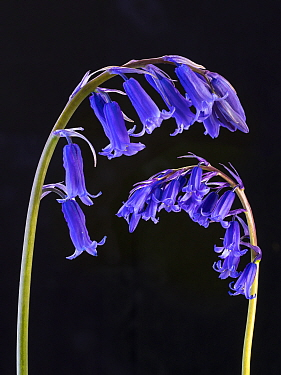 RF - Bluebell (Hyacinthoides non-scriptus) flowers on black background. (This image may be licensed either as rights managed or royalty free.)