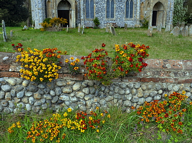 Naturalised wallflowers (Erysimum sp) growing on church wall, Norfolk, England, UK, April.