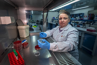 Associate Professor Michelle Power from Macquarie University Department of Biological Science plates out a culture of E.coli taken from faecal samples from Antarctic marine life (Wedell seal - Leptony...