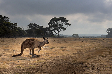 Kangaroo Island kangaroo (Macropus fuliginosus fuliginosus) on grassland, a reclaimed farming property and now part of the Kelly Hill conservation park, Kangaroo Island, South Australia, Australia.