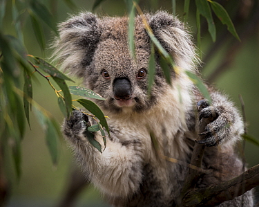 Portrait of a Victorian koala (Phascolarctos cinereus). Koalas from the more southern and colder states of Australia have longer hair than there more northly counterparts. Cape Otway, Victoria, Austra...