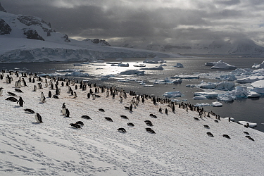 Colony of Gentoo penguins (Pygoscelis papua) on a snow hill with sea in the background.?Cuverville Island, Antarctic Peninsula, Antarctica