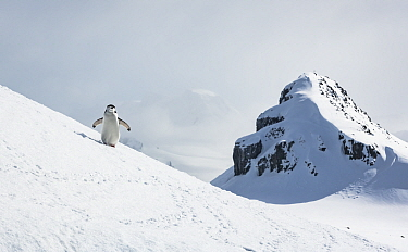 Chinstrap penguin (Pygoscelis antarcticus), walking on a hill towards a nesting site. Halfmoon Island, Antarctic peninsula, Antarctica.