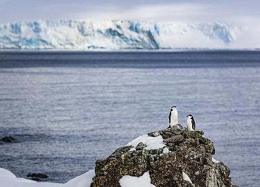 Two Chinstrap penguins (Pygoscelis antarcticus), inspecting a potential nesting site. Halfmoon Island, Antarctic peninsula, Antarctica.