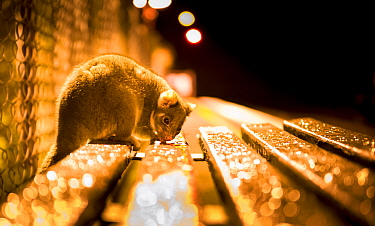 Ringtail possum (Pseudocheirus peregrinus) licks water droplets from a train station bench at night.  Gardenvale train station, Gardenvale, Victoria, Australia. September.