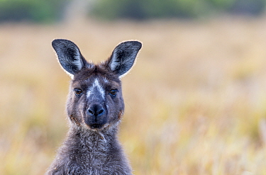 Kangaroo Island kangaroo (Macropus fuliginosus fuliginosus) portrait,with rare facial markings. Kangaroo Island, South Australia, Australia. January, 2016