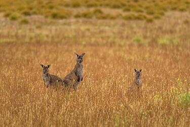 Small mob of Kangaroo Island kangaroos (Macropus fuliginosus fuliginosus) grazing in fields in morning sun. Kangaroo Island, South Australia, Australia.