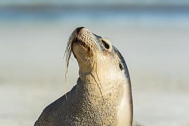 Australian sea lion (Neophoca cinerea) basking in the sun.? Sandy Bay, Kangaroo Island, South Australia, Australia.?