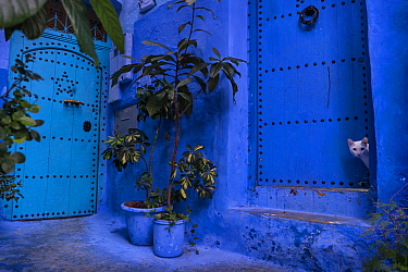 A white cat peeks out a blue door. Chefchaouen, Morocco.