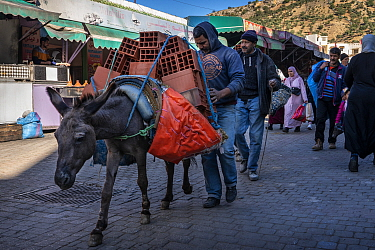 Donkey carrying a load of bricks through the streets of Moulay Idriss, Morocco.
