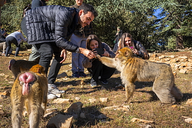 Tourists feed Barbary macaques (Macaca sylvanus) at the edge of the forest on the roadside outside of Azrou, Morocco.