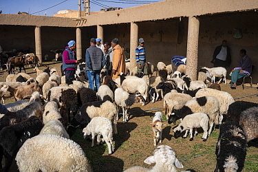 Sheep and goats for sale at the livestock market in Rissani, Morocco.