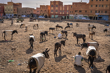 Donkey 'parking lot'. Donkeys 'parked' in a lot wait for their owners who are shopping at the market in Rissani, Morocco.