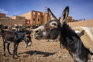 Donkey parking lot. Donkeys 'parked' in a lot wait for their owners who are shopping at the market in Rissani, Morocco.