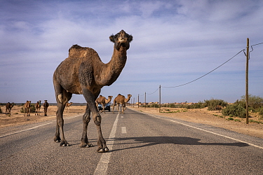 Camels cross a road on the outskirts of Merzouga, Morocco.