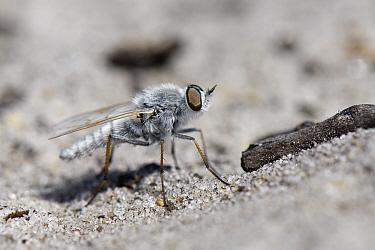 Coastal silver stiletto fly (Acrosathe annulata) male standing on a sandy path, Dorset heathland, UK, May.