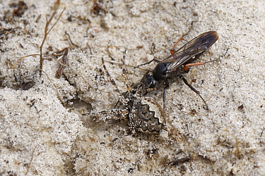 Red-legged spider wasp (Episyron rufipes) female dragging a Missing sector orb web spider (Zygiella x-notata) to its nest burrow in a bare sandy patch of heathland, Dorset, UK, August.