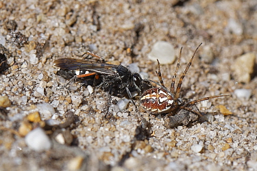 Red-legged spider wasp (Episyron rufipes) female dragging a paralysed Bordered orb-weaver spider (Neoscona adianta) to its nest burrow in a bare sandy patch of heathland, Dorset, UK, July.