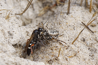 Red-legged spider wasp (Episyron rufipes) female dragging a Missing sector orb web spider (Zygiella x-notata) into its nest burrow in a bare sandy patch of heathland, Dorset, UK, August.