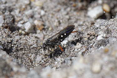 Red-legged spider wasp (Episyron rufipes) excavating a nest burrow in a bare sandy patch of heathland, Dorset, UK, July.