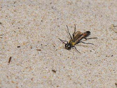 Heath sand wasp (Ammophila pubescens) sunning on sand dunes in hot sunshine and raising its legs, Dorset heathland, UK, May.