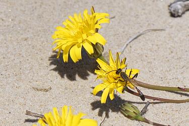 Heath sand wasp (Ammophila pubescens) feeding on Lesser hawkbit (Leontodon saxatilis) flowers among coastal sand dunes, Dorset heathland, UK, May.