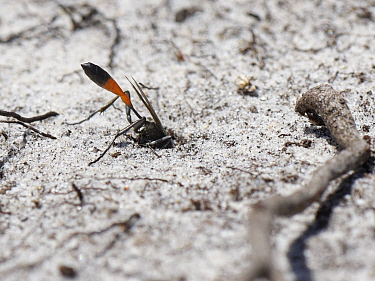 Heath sand wasp (Ammophila pubescens) excavating a nest burrow in a bare sandy patch of heathland, Dorset, UK, May.