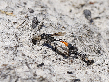 Heath sand wasp (Ammophila pubescens) carrying a paralysed caterpillar held in its jaws back to its burrow to feed its growing larva, Dorset heathland, UK, June.