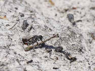 Heath sand wasp (Ammophila pubescens) pulling a paralysed caterpillar held in its jaws into its burrow to feed its growing larva, Dorset heathland, UK, June.