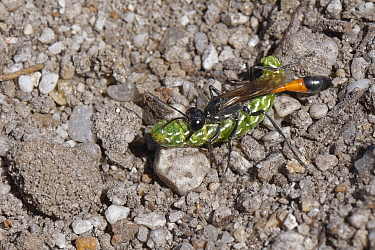 Heath sand wasp (Ammophila pubescens) carrying a paralysed Beautiful yellow underwing moth (Anarta myrtilli) held in its jaws back to its burrow to feed its growing larva, Dorset heathland, UK, July.