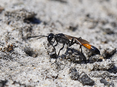 Heath sand wasp (Ammophila pubescens) positioning a small stick in the entrance to its nest burrow to exclude parasites while it hunts for more caterpillars to feed its larvae, Dorset heathland, UK, J...