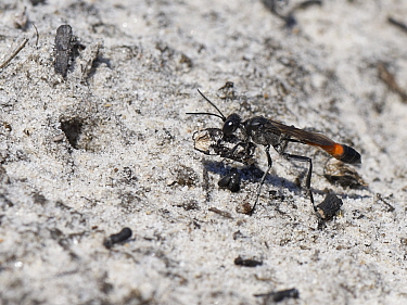 Heath sand wasp (Ammophila pubescens) carrying a small stick to place in the entrance to its nest burrow to exclude parasites while it hunts for more caterpillars to feed its larvae, Dorset heathland,...