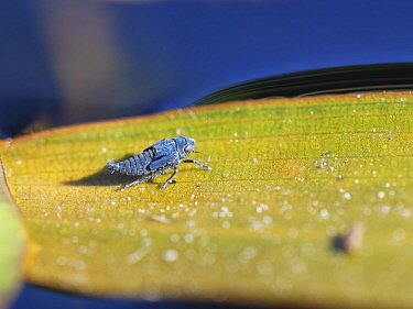 Pondweed leafhopper (Erotettix cyane) nymph resting on a leaf of Broad-leaved pondweed (Potamogeton natans), its sole host plant in a heathland pond, Dorset, UK, June. This tiny insect is one of the U...