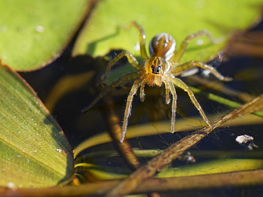 Pirate pond spider / Pirate otter spider (Pirata piraticus) hunting from a water lily leaf on a pond margin, with its front legs touching the water surface to detect vibrations caused by invertebrate...