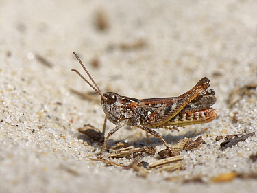 Mottled grasshopper (Myrmeleotettix maculatus) standing on a bare patch in sandy heathland with its hind legs raised off the hot sand, Dorset, UK, June.