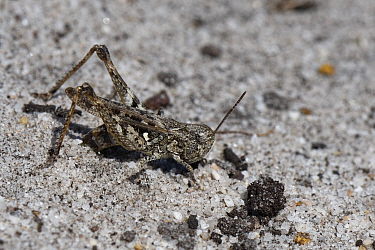 Mottled grasshopper (Myrmeleotettix maculatus) female laying eggs in a bare patch of sand in coastal heathland, Dorset, UK, July.