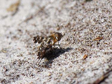Mottled bee fly (Thyridanthrax fenestratus) standing on bare sand near nest burrows of the Heath sand wasp (Ammophila pubescens) which its larvae parasitise, Dorset heathland, UK, May.