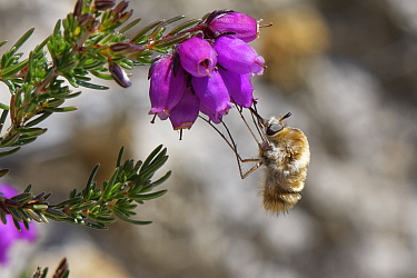 Heath bee fly (Bombylius minor) hovering while it clings to and nectars on Bell heather (Erica cinerea) flowers, Dorset heathland, UK, July.